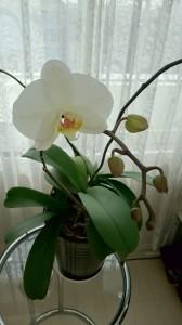 開業時にお祝いで頂いた胡蝶蘭。今年も咲きました。
